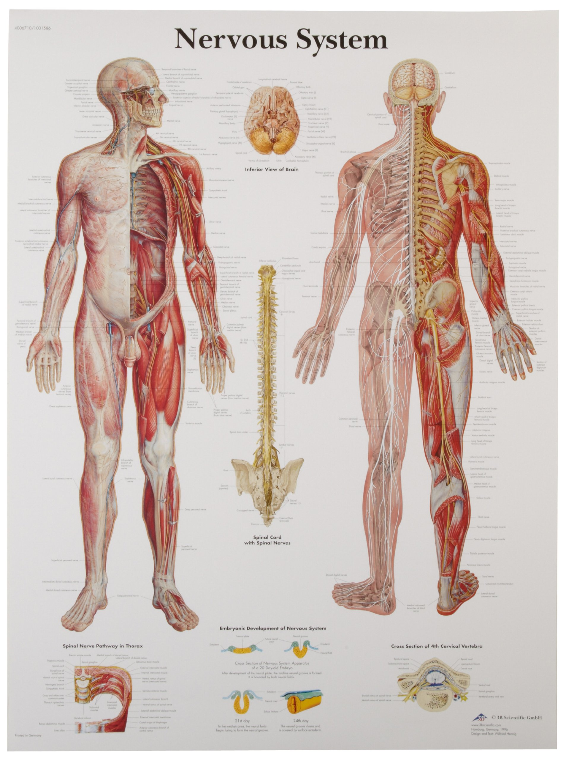 Cheap Pvc 3d Anatomical Poster, find Pvc 3d Anatomical Poster deals ...