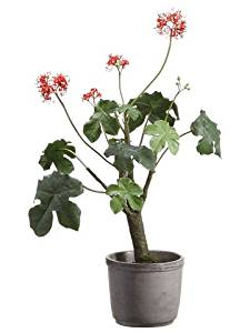 Silk Plants Direct Gout Stalk Plant (Pack of 1)