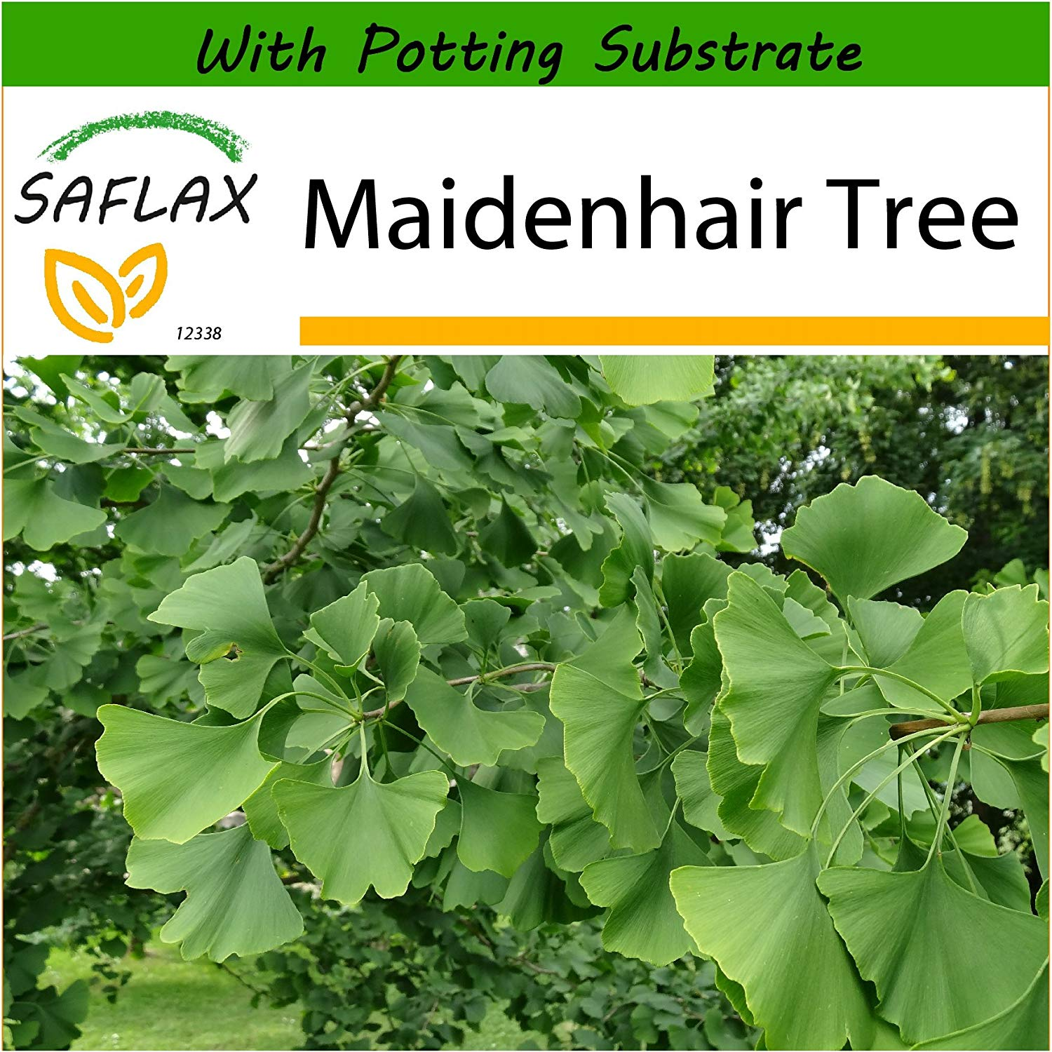 SAFLAX - Maidenhair Tree - 4 seeds - With soil - Ginkgo biloba