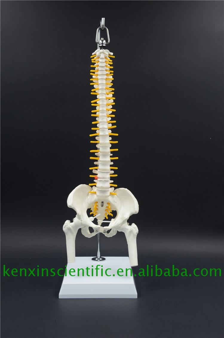 New brand 2017 3d model spine for education