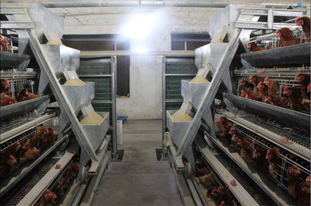design broiler chicken poultry shed for sale