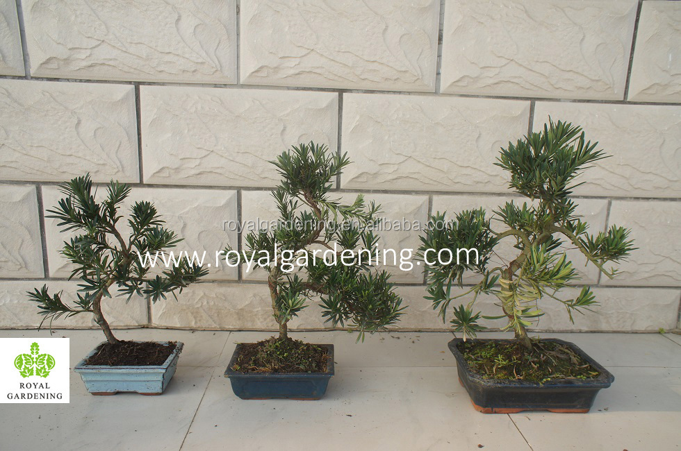 Indoor Bonsai Podocarpus Macrophyllus For Decoration S Shape - Buy on pleomele house plant, sansevieria house plant, eucalyptus house plant, ficus house plant, fittonia house plant, peperomia house plant, variegated ivy house plant, philodendron house plant, iris house plant, croton house plant, zamia house plant, holly house plant, asparagus house plant, olive house plant, lantana house plant, rhododendron house plant, camellia house plant, araucaria house plant, ardisia house plant, bamboo house plant,