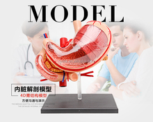 HM-BD-024 High quality plastic 4D stomach model