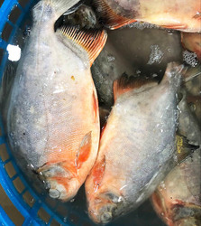 Faming fish Pomfret Frozen Whole Red Pomfret/ Red Pacu fish