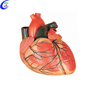 Anatomical Human Heart Model
