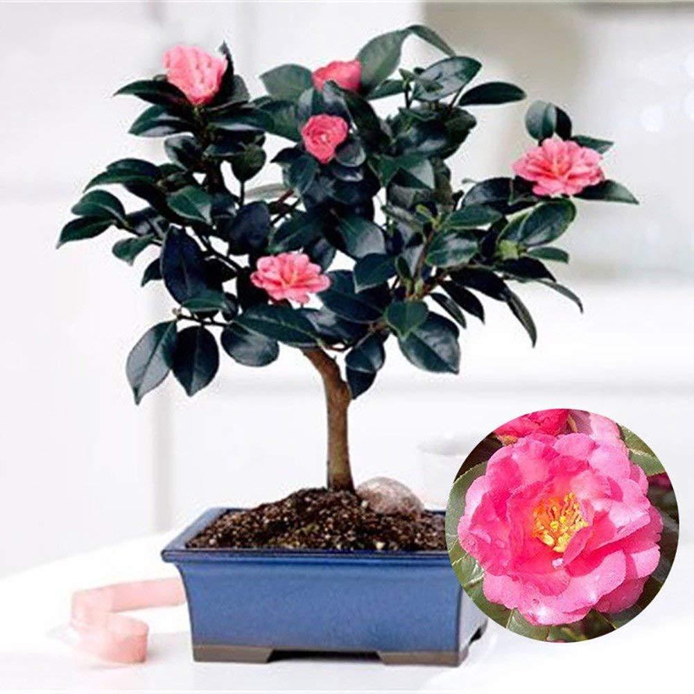Cheap Camellia Bonsai Find Camellia Bonsai Deals On Line At Alibaba Com