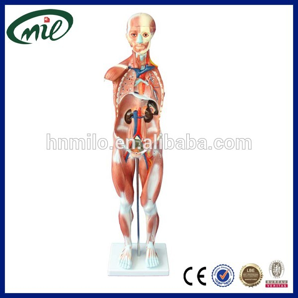 Human Anatomical Model Human Muscle Model With 27 Dissectible Parts