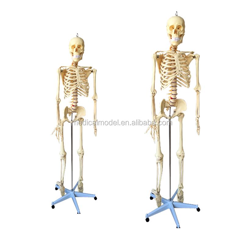 Artificial Plastic Human Skeleton 200 Bones Model Of Adult Human