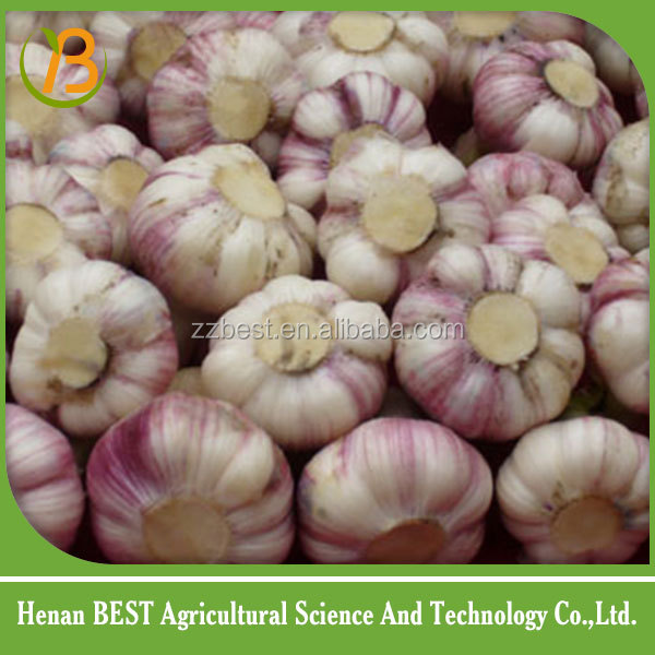 china garlic price very good and high quantity