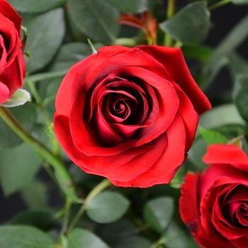 Impressive Preserved Roses Rolane Roses Wholesale Prices Rose Bud ...