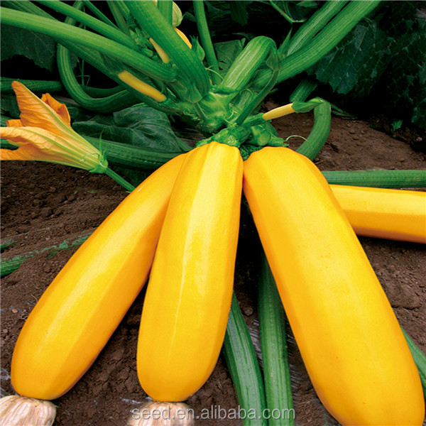 Yellow Beauty early maturity yellow Skin hybrid Squash Seeds