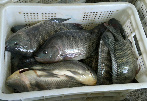 Export Tilapia Fish From China