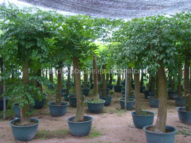 Heteropanax fragrans roxb semblent de int rieur et d for Plante ornementale exterieur