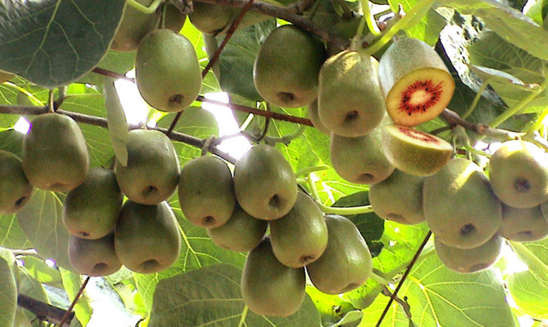 kiwifruit seed kiwi fruit seeds kiwi tree seeds for growing high, Beautiful flower