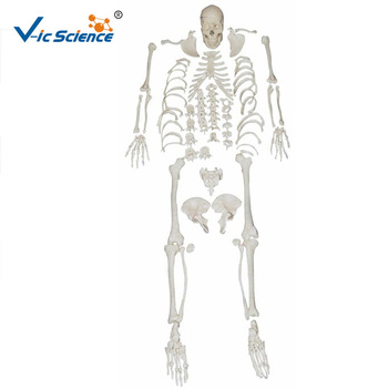 180 Cm Esqueleto Humano Adjuntar Los Músculos Para Colorear Con Ligamento Modelos Buy 180 Cm Esqueleto Humano Acoplar Los Músculos Para Colorear Con