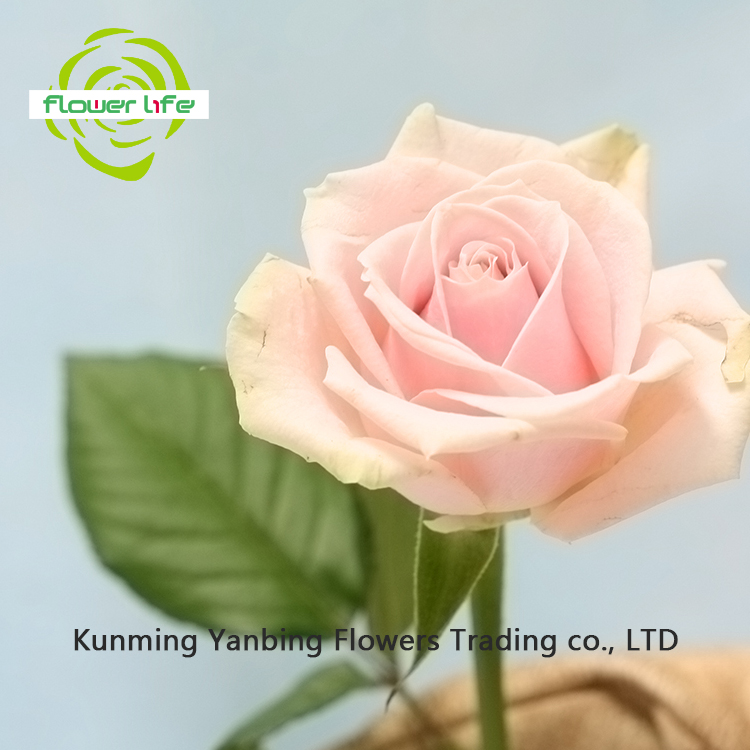 2017 Trend High Quality Yunnan Fresh Cut Rose Pink Avalache Flowers For New Year Decoration China Rose Pink Avalache