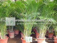 Chrysalidocarpus lutescens indoor and garden palm trees