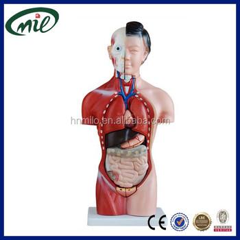 Modelo Del Cuerpo Humano,42 Cm Anatomía Modelo Torso Femenino 15 ...