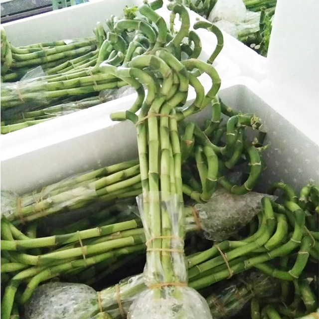 Indoor 10cm-90cm spiral lucky bamboo / lucky bamboo plant / lucky bamboo