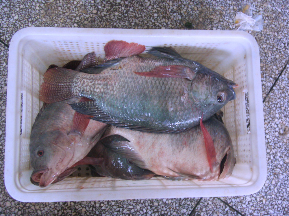 Best Tilapia Fish Farming With Big Size