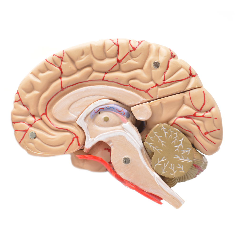 China Human Brain Model, China Human Brain Model Manufacturers and ...