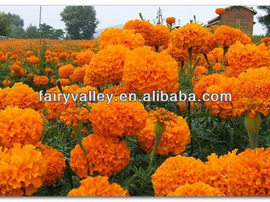 Planting Hybrid F1 Lutein Pigment Orange Marigold Flower seeds Tagetes erecta seeds For Pot Flower Or For Landscape