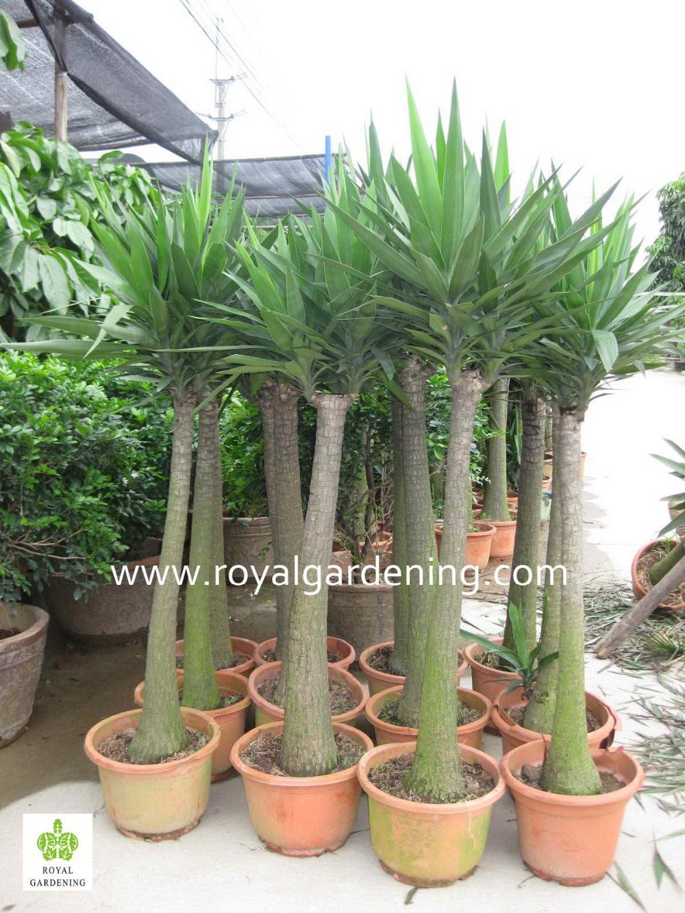 Berühmt Yucca Elephantipes Ornamental Plants - Buy Yucca Elephantipes SZ23