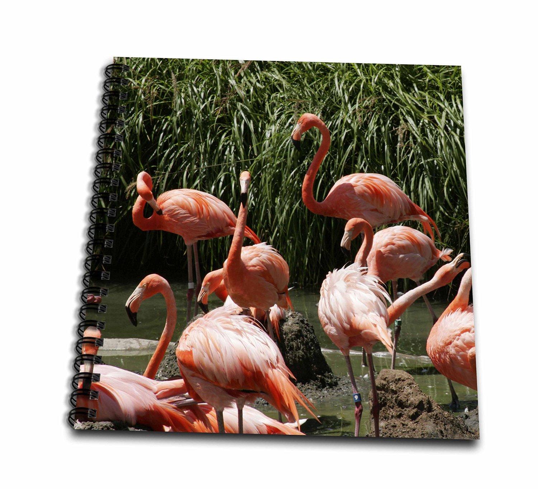 Danita Delimont - Peter Bennett - Birds - San Diego Zoo, Flamingo, California, USA - Drawing Book 8 x 8 inch (db_191695_1)