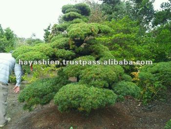 Japanese Garden Plants And Trees Pinus Parviflora Buy Japanese