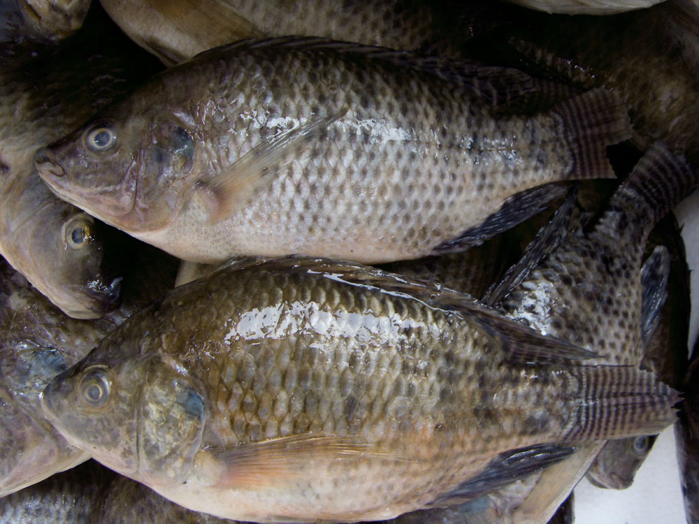 Tilapia Fresh Fish,Frozen Carp Fish