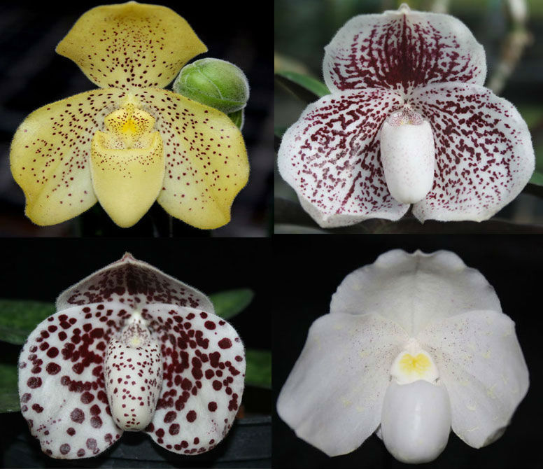 Paphiopedilum Thailand species (bloom size)