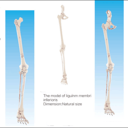 Lower limb bone model for medical teaching