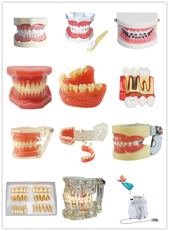 Dental Anesthesia Extraction Model