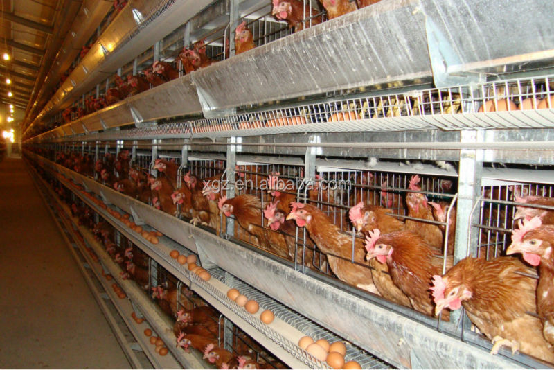 modern low price automatic layer chicken poultry shed