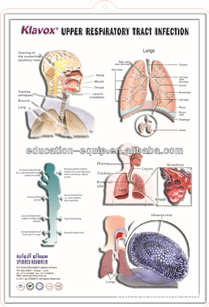 upper respiratory tract infection Upper respiratory tract infections (uris) are contagious infections involving the nose, throat, sinuses, pharynx or larynx some commonly known uris include the common cold, nasal obstruction, a sore throat, tonsillitis, pharyngitis, laryngitis, epiglottitis, tracheobronchitis.