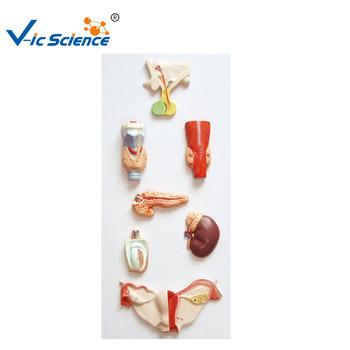 Endokrine Orgel Modell,Endokrine System Modell,Menschliche Hormon ...