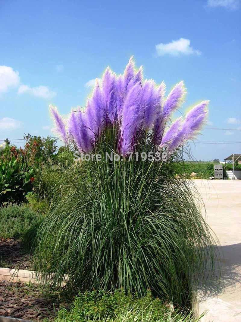 Flowers Seed Rare Pampas Grass 4 Kinds Garden Plant