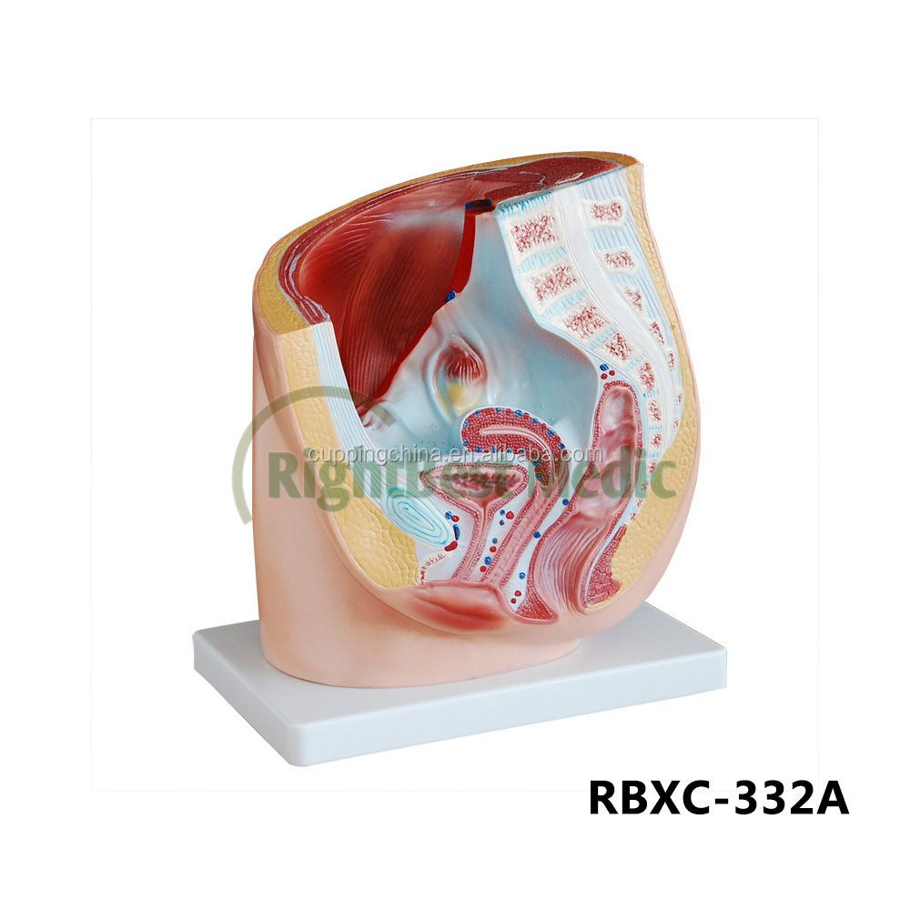 Male Organ Anatomy Wholesale, Organ Anatomy Suppliers - Alibaba