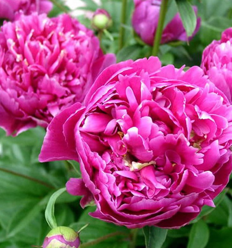import natural flowers peony cut fresh flower from Yunnan