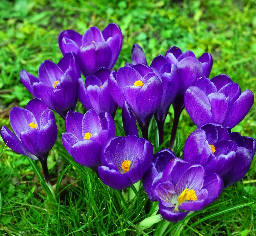 6297ee6166ef36 Get Quotations · Remembrance Crocus 20 Bulbs - Very Hardy!