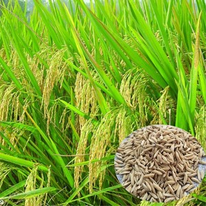 Shui dao 100 % Quality Top Brand F1 high yield rice seed for planting