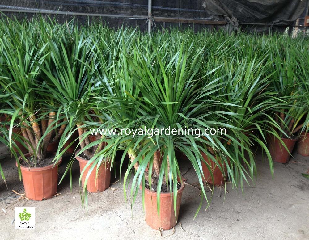 Dracaena Draco Indoor Plants Ornamental Plants Buy