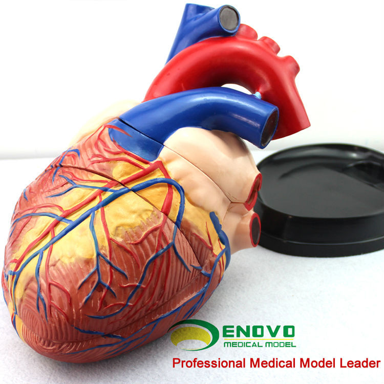Heart10(12486) Oversize Human Heart Anatomy Model,4 Times Full Life ...