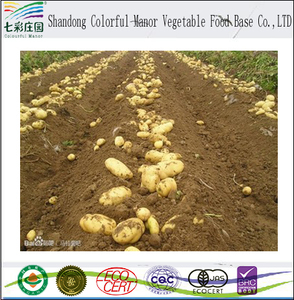 wholesale high quality fresh yellow delicious large potato