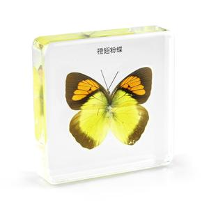 Real Insect Specimen Butterfly Encased in Acrylic Resin Block