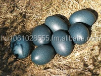 Fertile Emu Eggs