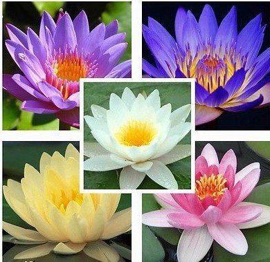 Cheap Lotus Flower Seeds For Sale Find Lotus Flower Seeds For Sale