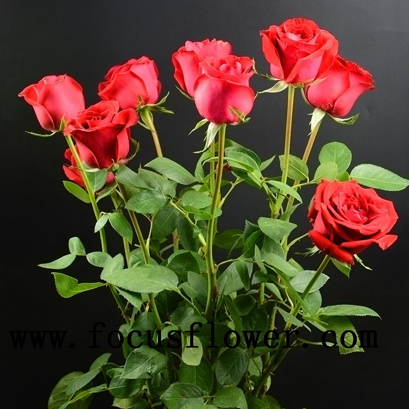 Best hot selling export fresh cut flowers roses fresh cut for Decoration or rose