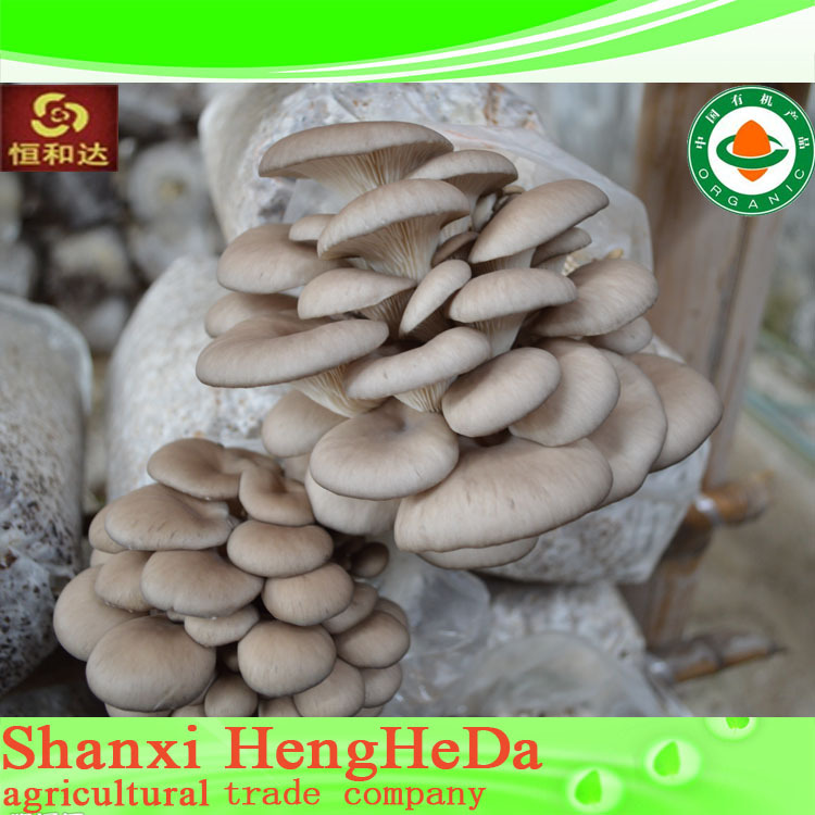 good price with buying online in china king grey oyster mushroom