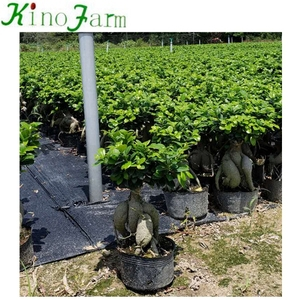 Living Plant Ficus Ginseng Tree